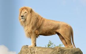 Картинка кошка, небо, взгляд, камень, хищник, лев, грива