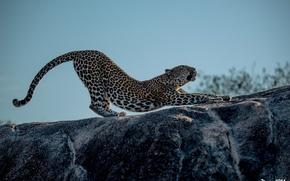 Картинка поза, хищник, лапы, пятна, леопард, профиль, дикая кошка, потягивается