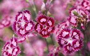 Обои Пурпурный, Гвоздика, Розовые, Растения