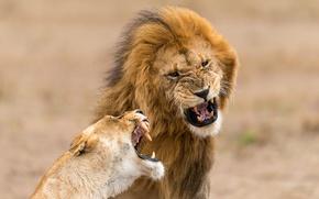 Обои природа, фон, львы