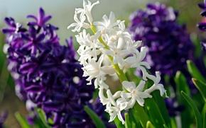 Обои макро, белый, гиацинт, фиолетовый