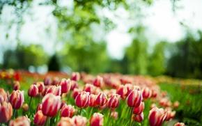 Обои тюльпаны, макро, весна