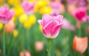 Картинка цветы, желтые, размытость, тюльпаны, розовые