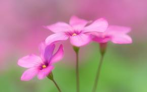 Обои oxalis, flowers, wood sorrel
