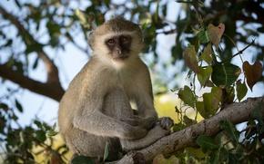 Картинка взгляд, обезьяна, сидит