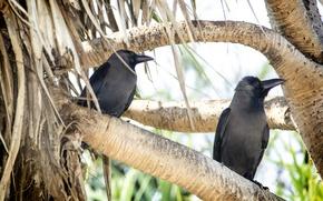 Картинка branch, kingfisher, Crow, beak, thanujan, thanujan thanabalasingam, thanujan_t, thanujan13