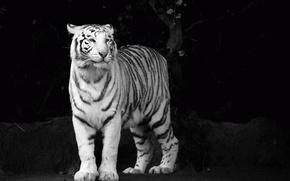 Картинка белый, взгляд, морда, тигр, хищник, ч/б, tiger, чёрно-белые обои