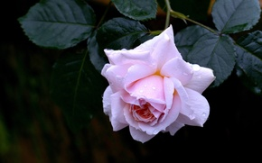 Картинка листья, капли, роза, бутон