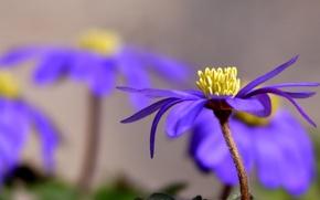 Обои анемона, цветок, фиолетовый, лепестки