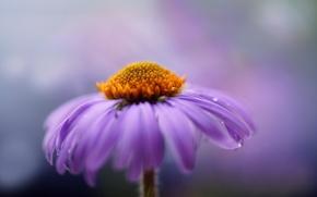 Картинка цветок, макро, сиреневый, лепестки, хризантема