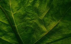 Обои прожилки, макро, лист, зелёный