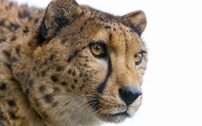 Картинка кошка, взгляд, морда, гепард, ©Tambako The Jaguar
