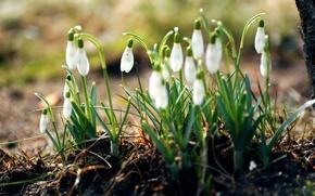 Картинка лес, трава, макро, цветы, природа, земля, весна, подснежники, белые, первоцветы