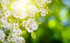 Обои цветки, цветущие, деревья, листья, боке, зелень, сирень, солнце, блики, ветки, белая