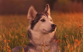 Картинка трава, морда, собака, хаски