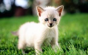 Картинка кошка, белый, трава, кот, макро, котенок, cat