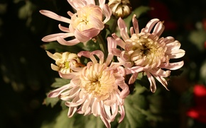 Картинка pink, autumn, chrysanthemum, bunch, chrysanthemums