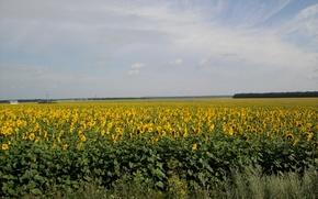 Картинка поле, лето, солнце, подсолнуха