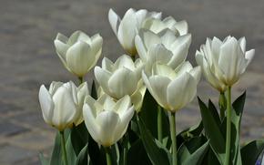 Картинка весна, тюльпаны, white, белые, spring, Tulips