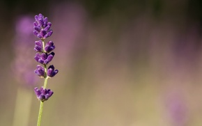 Картинка макро, цветы, размытость, фиолетовые, сиреневые, Лаванда