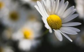 Обои цветы, ромашка, ромашки, цветочки