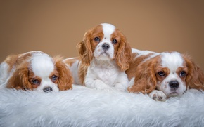 Обои собаки, фон, щенки, мех, фотосессия, лежат, мордашки, троица, кавалер кинг чарльз спаниель, милахи