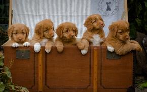 Картинка собаки, щенки, сундук, малыши, Новошотландский ретривер