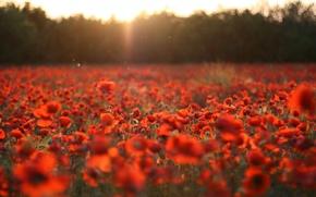 Обои поле, цветы, природа, поляна, маки, красные