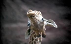 Картинка морда, природа, жирафа