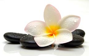 Картинка цветок, капли, камень, flower, stone, drops