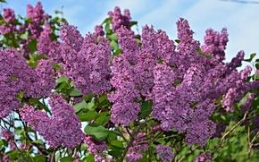 Картинка цветы, природа, весна, Сирень, цветение, nature, flowers, spring, flowering