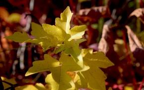 Картинка желтые, широкоформатные, осень дерево, листья деревьев