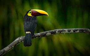 Картинка green, black, yellow, Ramphastos swainsonii