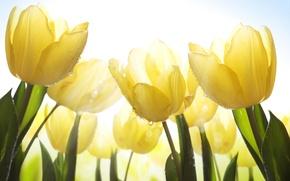 Картинка небо, листья, капли, цветы, роса, стебли, красота, лепестки, светлые, тюльпаны, sky, yellow, water, жёлтые, flowers, …