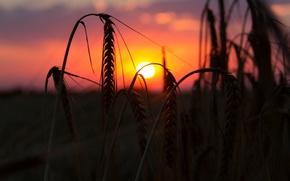 Картинка пшеница, поле, солнце, макро, закат, фон, widescreen, обои, рожь, вечер, колоски, wallpaper, колосья, широкоформатные, background, ...