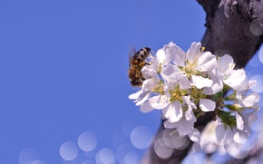 Обои весна, пчела, небо, боке, Larisa Koshkina, природа, ветка, макро, цветы