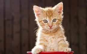 Картинка взгляд, позирование, рыжий котёнок