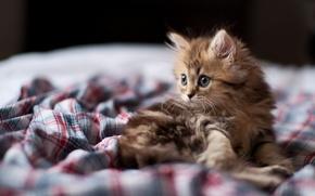 Обои кошка, кот, взгляд, котенок, фокус, мордочка, Daisy