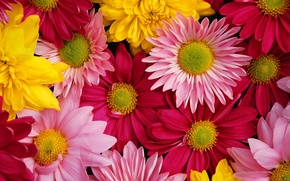 Обои яркие, разноцветные, хризантемы