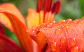Картинка цветок, капли, роса, лилия, лепесток