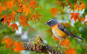 Картинка осень, фотограф, птица, Тайвань, Collared Bush-Robin, FuYi Chen, ошейниковая, боке, листья, мох, клён, ветка, макро, ...