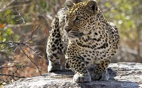 Картинка кошка, хищник, леопард