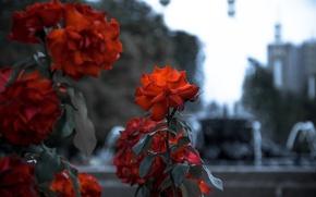 Картинка красное, роза, клумба, монохром