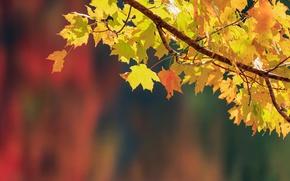 Картинка осень, листья, фон, ветка, клён, боке