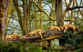 Картинка деревья, сон, саванна, африка, львы