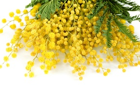 Картинка цветы, желтый, весна, yellow, flowers, spring, delicate, мимоза, mimosa