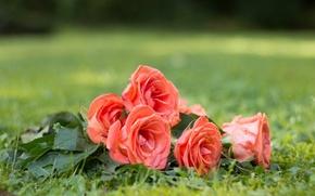 Картинка цветы, природа, травка, бутоны, розовые розы