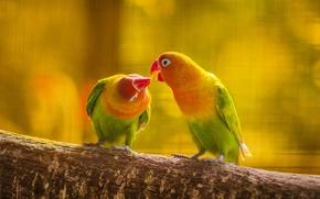 Картинка лес, листья, любовь, природа, птица, поцелуй, ветка, перья, клюв, попугай, пара, хвост, волнистый попугай