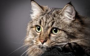 Картинка портрет, взгляд, кошка, мордочка, кот