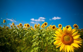 Картинка поле, подсолнухи, природа, Nature, field, sunflowers